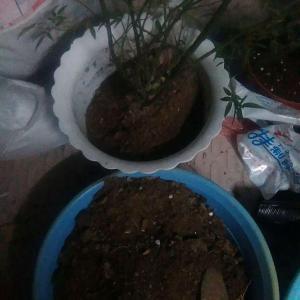 木香是去年秋天入手的花苗,也是大型绿植可灌可藤,当时买是因为怕我家猫跳楼所以想种些树加高一下围栏。结果猫还挺喜欢吃木香的叶子的经常跳到花盆上。和它一块买的还有橙色的炮仗花,没活。不过用花盆养这些花也是太委屈它们了,羡慕有小花园的人家。