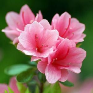 杜鹃花怎样播种育苗