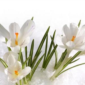唯美的白色番红花图片欣赏