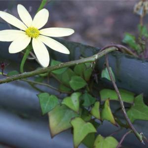 金玉菊图片