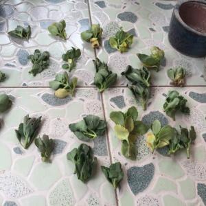 9月10日,收到省外花友快递的长寿枝条。一共21份,每份2枝。