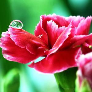 唯美的红色康乃馨图片欣赏