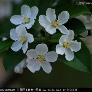 ホウセンカズラ(フウセンカズラ)|9月17日の誕生花・花言葉・由来