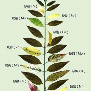 绿手指带你一张图看懂植物所缺少的元素!