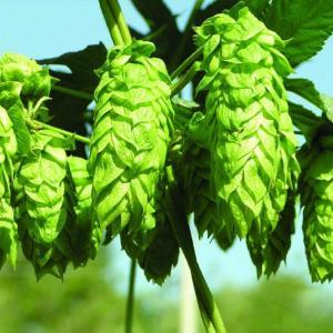 啤酒花的用途及繁殖方法