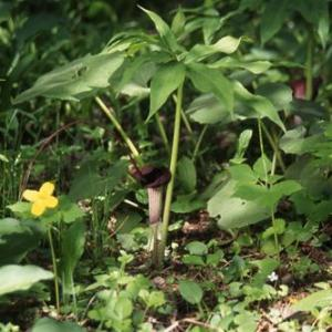 ウラシマソウの特徴と種類
