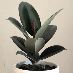 ✖︎ Ficus Elastica Black (Rubber Plant)