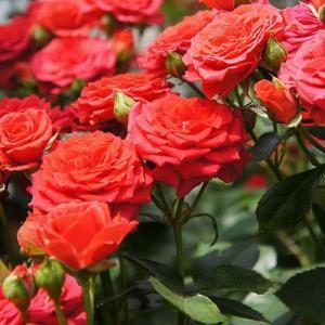 Acodo de rosales (Rosas)