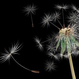#蒲公英种子#   蒲公英是多年生宿根性植物,野生条件下二年生植株就能开花结籽,初夏为开花结数随生长年限而增多,有的单株开花数达20个以上,优良品种单株开花数量可高达20个以上,开花后经13~15天种子即成熟。 花盘外壳由绿变为黄绿,种子由乳白色变褐色时即可采收。切不要等到花盘开裂时再采收,否则种子易飞散失落损失较大。一般每个头状花序种子数都在100粒以上。大叶型蒲公英种子千粒重为2克左右,小叶型蒲公英种子千粒重为0.8~1.2克左右。  采种时可将蒲公英的花盘摘下,放在室内存放后熟一天,待花盘全部散开,再阴干1~2天至种子半干时,用手搓掉种子尖端的绒毛,然后晒干种子备用。 在蒲公英野生资源丰富的地方,也可直接控取野生蒲公英的根用于栽培。通常在10月份,挖根后集中栽培于大棚中,株行距8厘米×3厘米,栽后浇足水,至次年2月即可萌发新叶,这时再施一次有机肥,生长到一定程度即可采叶上市。