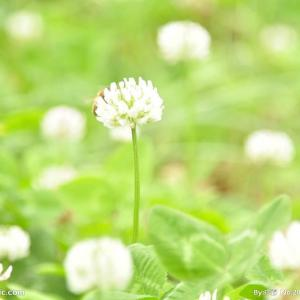 エーデルワイス|花言葉・由来・意味