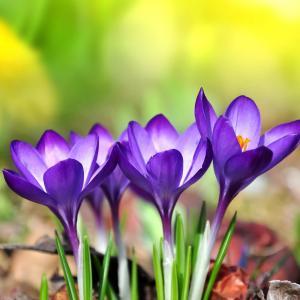 唯美的紫色番红花图片欣赏