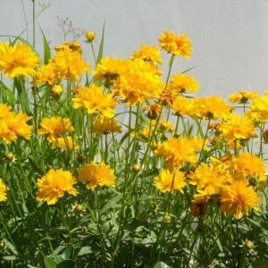 重瓣金光菊图片