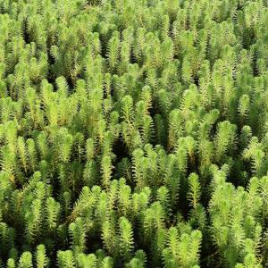 Hydrilla Management: Tips On Controlling Hydrilla Weeds