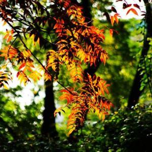 黄连木的栽培技术
