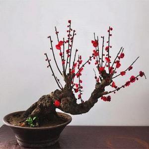 想要梅花树桩盆景表现出古朴沧桑的感觉,那么这6点必须学会!
