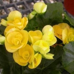 丽格秋海棠图片