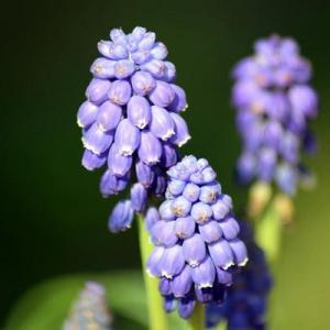 Hyacinth—Mito enjoy