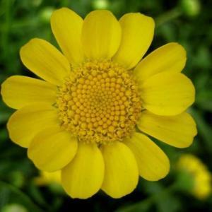 黄晶菊图片
