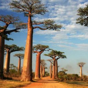 Cómo cultivar un baobab