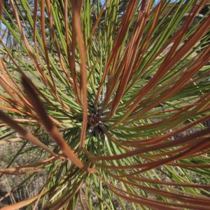 Brown Spot Needle Blight of Pines