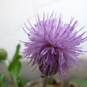"""#紫蒲公英花语#   #花语#   紫蒲公英:呈淡紫色的蒲公英,花语是'传说的紫色,属性暗。传说谁能找到紫色的蒲公英,谁就能得到完美的爱情。请注意:事实上蒲公英没有紫色的,所谓""""紫色蒲公英""""是指大蓟。"""