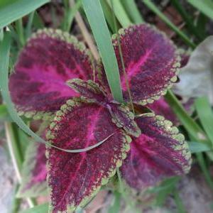 紫苏播种时间(附方法)