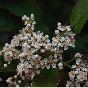桃叶石楠图片