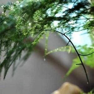 文竹有毒吗