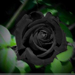 稀有黑色花大全