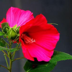苏丹的国花:扶桑花
