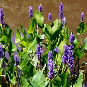 Caring For Pickerelweeds – How To Grow Pickerel Rush