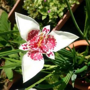 チグリジア(ティグリディア)の育て方・栽培方法