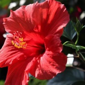 扶桑花的养殖方法有哪些