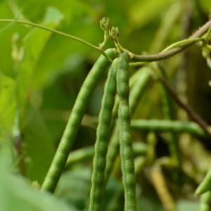 豇豆的栽培技术