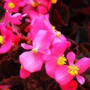四季海棠的正确养殖方法