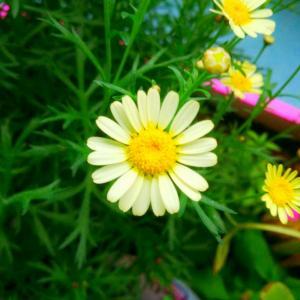 放在幼儿园的小黄,不指望成球,能开花我已经很满意了