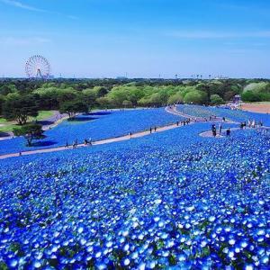 【茨城・ひたち海浜公園】美しく赤く染まるコキア畑
