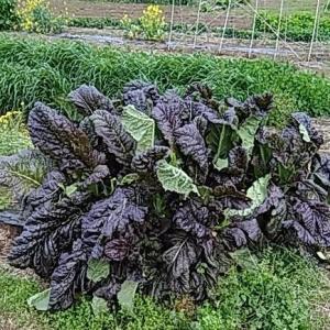 マスタード(カラシナ)の特徴と栽培方法
