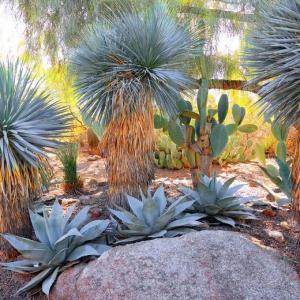 Yucca rostrata – Beaked Yucca