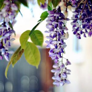 唯美的紫藤花图片欣赏