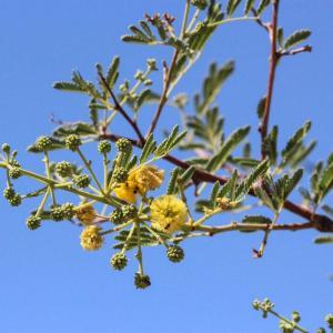 Vachellia farnesiana – Mimosa Bush