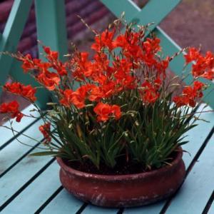 トリトニアの特徴と栽培方法