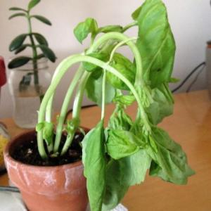 Why Does Basil Wilt: How To Fix Droopy Basil Plants