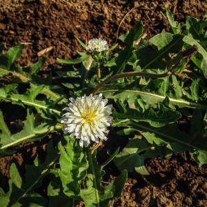 Taraxacum albidum – White Dandelion