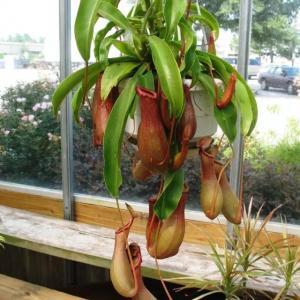 在室内用这几种方法,食虫草就能长得青翠、健壮了