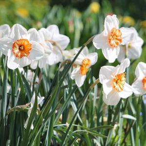 春节过后很多水仙花谢了,那么水仙花谢了怎么办呢?是扔掉还是继续养,不少花友左右徘徊,不知道该怎么处理,其实水仙花凋谢了的处理方法很简单,有兴趣的花友可以尝试一下。  先说水仙花谢了怎么处理:  土栽的:直接在花盆里,剪去残花,施点薄肥(磷钾肥为主),养护到夏季叶子枯掉后,挖出来晾干球茎在阴凉通风处保存(据说来年可以开花,但是很多人并没有成功,只有少数人成功)。  水培的:一般来说水培的花谢后都直接扔掉(因为洋水仙很便宜),如果舍不得扔,可以尝试把残花减去,然后重新栽种到土里,按照土栽的处理方法即可。  最后说,上述方法看起来简单,其实复花率不是很高(主要是受制于水仙花的环境需求),另外还有一部分花友选择在水仙花谢后地栽,据说三年左右才会复花,当然也不排除一些花友养护得当第二年复花的可能性哦!