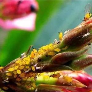 红蜘蛛  红蜘蛛非常小,与针孔差不多大,接近圆形,呈红褐色,不易被发现,主要危害是会导致花的叶片变黄甚至脱落。   防治方法:  1、通风,注意观察叶片背面,发现个别病叶立马摘除。  2、病叶较多的话,可以用辣椒水或者烟叶水喷洒。  ①红辣椒用水煮开滤出,把煮好的辣椒水放凉,然后1碗辣椒水加两瓶清水混合均匀。喷的时候不要一次喷太多,依次地增加用量,效果会更好。  ②有烟叶的话,可以用烟叶水。制作方法与辣椒水相似,注意不要用量过多。  ③药剂防治可以用克螨特、三氯杀螨醇、乐果、花虫净、速灭杀丁等。  白粉病  白粉病是花上普遍发生的一种病害,一般月季、玫瑰、菊花、凤仙花等花卉容易感染,多肉也容易得白粉病。   防治方法:  1、把感染白粉病的叶片清理干净,用多菌灵消毒杀菌,然后通风,避免环境湿润。  2、可以用白酒治疗白粉病:  用35°的白酒加水稀释100倍左右,喷洒在病叶上即可。  蚧壳虫  蚧壳虫主要危害花的叶片、枝条和果实,会造成黄叶和枯萎。茉莉、山茶、多肉都比较容易感染蚧壳虫。   防治方法:  1、首先要去除掉病枝,病叶,尽量烧毁,以免再感染。  2、家庭简易防治方法:  ① 用1份白酒兑2份水,浇透土壤表层,每隔15天浇一次,连续四次见效。  ② 醋加水稀释2~3倍,用棉签蘸取稀释过的醋,涂在有病害的叶片和枝条上,也可以用棉花,这样既能除虫,还能让叶片返绿。  炭疽病  炭疽病主要危害兰花的叶片,有时也侵染茎和果实。   防治方法:  1、把有病斑的部分剪掉,通风增加光照。  2、家庭简易防治方法:  ①小苏打和水1:500混合均匀,喷洒给花。  ②取一块生姜捣成泥,加水20倍浸泡12小时,过滤后用滤液喷洒患植株即可。  ③韭菜榨汁和清水按1:60的比例混合,然后喷给花,每天喷2次, 连续喷15天即可。  ④把生石灰粉和清水按1:60的比例混合,用上层澄清液喷洒花的周围能防治炭疽病。  蚜虫  蚜虫俗称腻虫或蜜虫,繁殖速度非常的快,会损害花和叶子,一般躲在叶片背面。  蚜虫应该早发现早治疗,开始少量出现时,可以直接手动除虫。   防治方法:  1、用棉签粘掉或用手指掐掉。  2、肥皂水。肥皂切片用热水化开再和清水按1:60的比例混合均匀,冷却后喷洒给花。  3、严重时可用护花神、吡虫啉、蚜虱净等连续喷洒3-4次,才可彻底根除。  白粉虱  白粉虱这种小虫子会使叶片褪绿、变黄、萎蔫,甚至全株枯死,一般在叶片背面。   防治方法:  1、要合理施肥,氮肥不要施的太多,这样能提高花抗白粉虱的能力。  2、可以用大蒜水和硫磺粉防止白粉虱:  ①取大蒜一头,捣烂后加入一瓶水,搅匀过滤,用大蒜水喷洒叶片,1天1次,连喷3~4次。也可以用毛笔或者牙刷把蒜液涂刷在有白粉虱的地方,立马见效!  ②用硫磺粉之前先把叶面用清水喷湿,再撒上硫磺粉,主要撒在先有白粉虱的地方,其他地方尽量不撒。