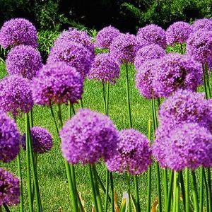 大花葱的种植方法