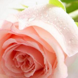 Rose show—Mito enjoy