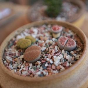 你在栽培生石花时也会遇到以下问题嘛?